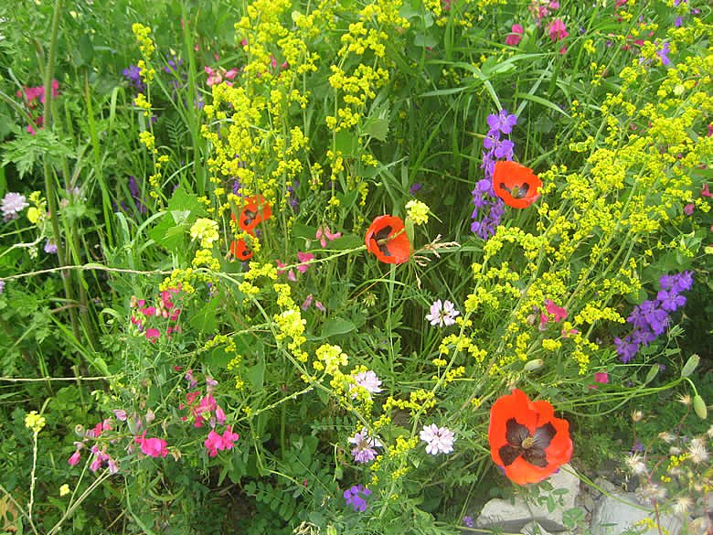 Blumenwiese in Georgien