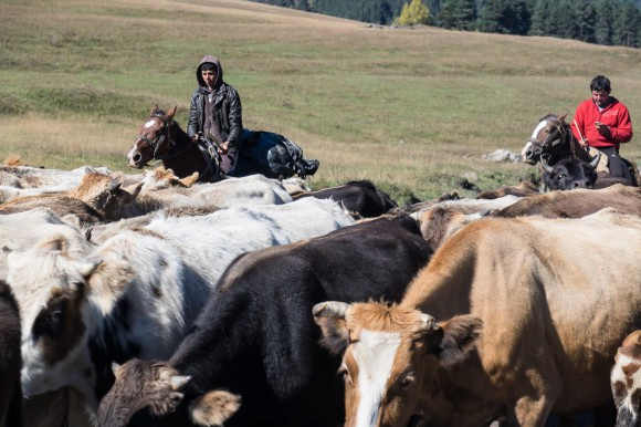 Cattle drive in the Caucasus